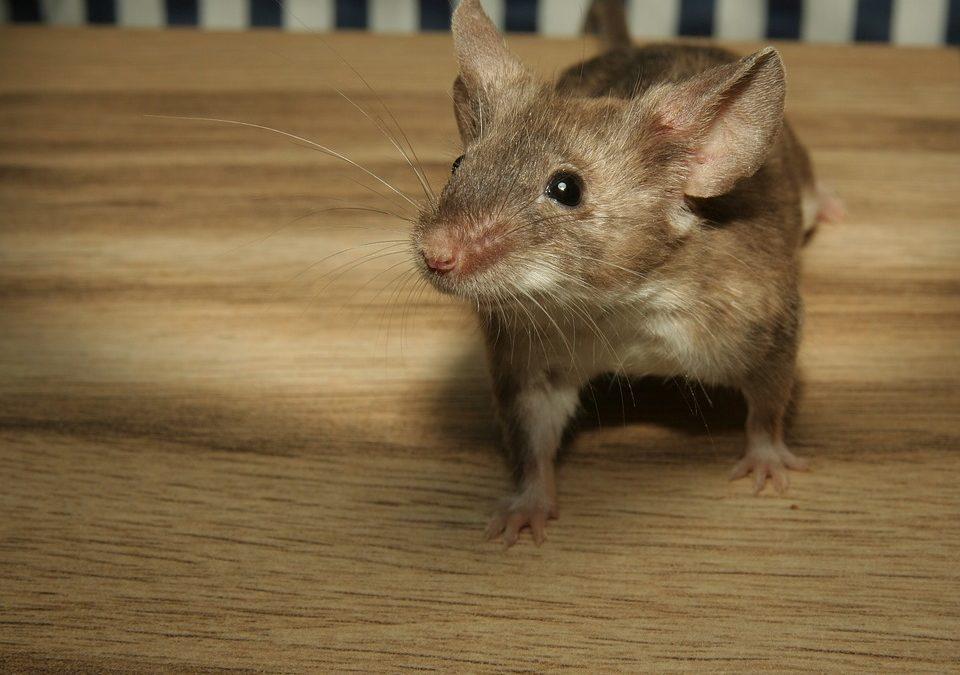 🐾 Cele mai frecvente animale obeze exotice: șobolani nr. 4 -